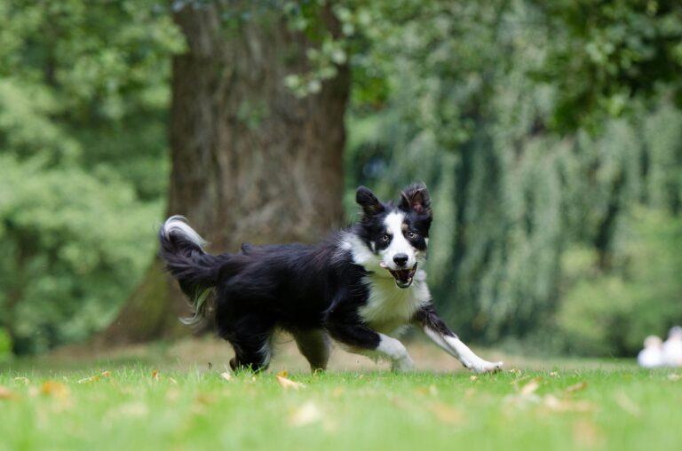 border collie, running dog, young dog-794399.jpg